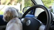 "Stock Video Footage of A Cute Playful Lhasa Apso Puppy ""Driving"" A Car"