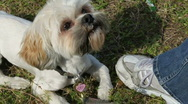 A Cute Playful Lhasa Apso Puppy And Treats Stock Footage