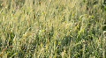 Wheat Footage
