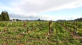 Winery Grapevines Footage