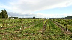 Winery Grapevines - stock footage
