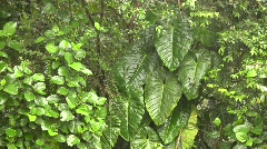 Stock Video Footage of Rain falling in cloudforest with a leafy green background