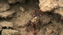 Ant Lifts Rock Stock Footage