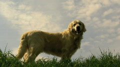 golden retriever - stock footage