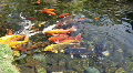 Big Gold Fish In A Koi Pond Footage