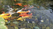 Big Gold Fish In A Koi Pond Stock Footage