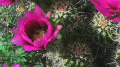Hot Pink Cactus Flowers Stock Footage
