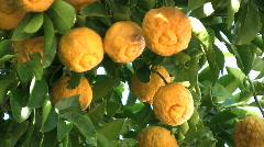 Anza Borrego lemons on a tree Stock Footage