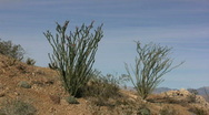 Stock Video Footage of Anza Borrego ocotillo on slope