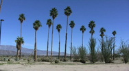 Stock Video Footage of Anza Borrego row of palms
