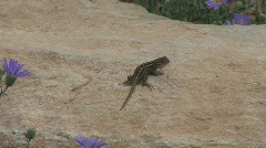 Arizona lizard bobs up and down Stock Footage