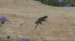 Arizona lizard bobs up and down Stock Footage