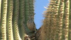 Arizona saguaro bird flies by globescope Stock Footage