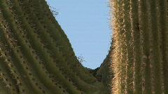 Arizona saguaro bird9 Stock Footage