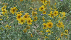 Arizona yellow flowers with bug  Stock Footage
