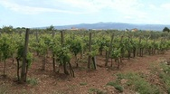 Stock Video Footage of Calabria vineyard
