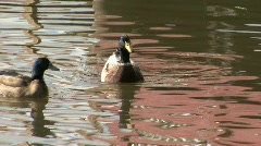 Ducks on Silver Lake with reflections Stock Footage