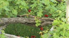 Old trellised vineyard Stock Footage
