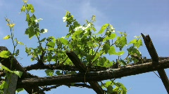 Grape vines growing on a trellis Stock Footage