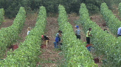 Grapes being harvested near Nemea Stock Footage