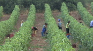 Stock Video Footage of Grapes being harvested near Nemea