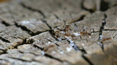Red ants meeting Stock Footage