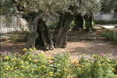 Jerusalem Garden of Gethsemane Stock Footage
