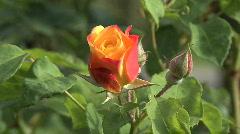 Beautiful salmon colored rose Stock Footage