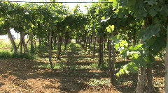 Vineyard in the Lazio region of Italy Stock Footage
