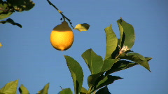 Yellow lemon against a blue sky Stock Footage