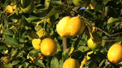 Lemons in California - stock footage