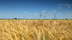 Gold Field of wheat wave on the summer sky Stock Footage