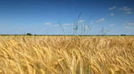 Stock Video Footage of gold Field of wheat wave on the summer sky
