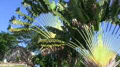 Malacca travelers palm Stock Footage