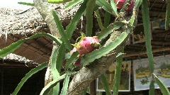 Mekong cactus fruit Stock Footage