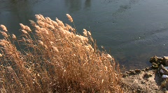 Autumn common reed grass (Phragmites australis) swaying in the wind at a river b Stock Footage