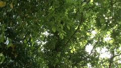 Oak leaves in Cerce's woods Stock Footage