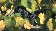 Pinot noir grape bunches on a vine Stock Footage