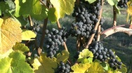 Pinot Noir grapes on a vine Stock Footage