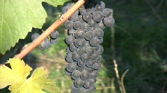 Pinot Noir grapes zooms in Stock Footage