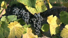 Pinot noir grapes Stock Footage