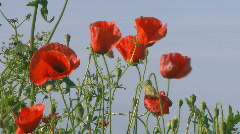 Red poppies in the blue sky Stock Footage