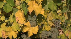 Riesling grapes on the vine zooms Stock Footage
