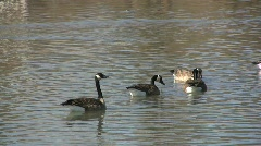 Geese swimming at Saint Michaels MD Stock Footage