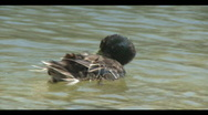 Stock Video Footage of Duck Bath