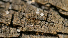 Red ant eating crumbs Stock Footage