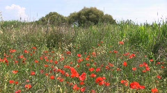 Beautiful red poppies and grasses at Vulci Stock Footage