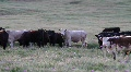 Cows in Pasture Footage