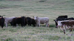 Cows in Pasture - stock footage