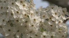 Tree Blossom Series One - 1 of 13 - stock footage